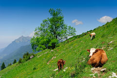 Cow calf lying on alpine slop. With green grass under blue sky. Shallow DOF, focus on cows eyes Royalty Free Stock Photo