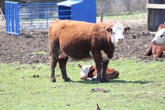 Cow & Calf in Holding Enclosure. Cow and Calf lying down in a small holding area Stock Photos