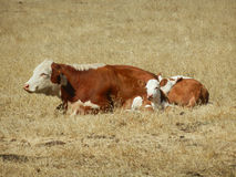 Cow and Calf. Lying in the Hay Royalty Free Stock Photography