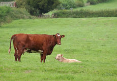 Cow and calf in meadow. Cow standing and calf lying in field royalty free stock image