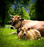Cow and calf. In a meadow Royalty Free Stock Photography