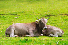 Cow and calf. At meadow Stock Image