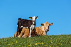 Cow and calf on a meadow Royalty Free Stock Photo