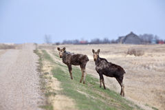 Cow and Calf Moose. In Prairie Saskatchewan Canada Stock Images