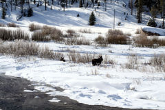 Cow and calf moose feeding on snow bank Royalty Free Stock Image