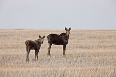 Cow and Calf Moose in Prairie Saskatchewan Canada Stock Photo