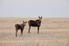 Cow and Calf Moose in Prairie Saskatchewan Canada. Field Stock Photo