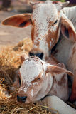 Cow and calf. Mother cow and her four days old calf. India Royalty Free Stock Photo