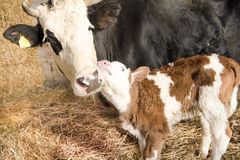 Cow with calf. Cow mother in love with newborn calf Stock Photography