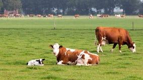 Cow calf Stock Photo