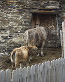 Cow and calf near the old barn Stock Image