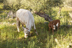 Cow and calf between olive trees with blue sea in the background Royalty Free Stock Photo
