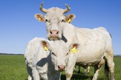 Cow and calf outside Royalty Free Stock Images