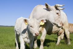 Cow and calf outside Stock Photo