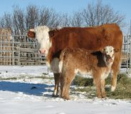 Cow,Calf Pair. This is a winter scene of a bald-faced, horned cow with her brockle-faced calf along side her. Heads opposite, both looking straight towards the Royalty Free Stock Photo