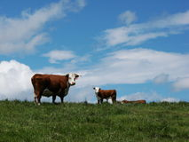 Cow Calf Pair Stock Photos