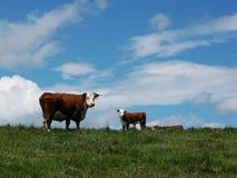 Cow Calf Pair stock photos