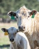 Cow-calf pair portrait royalty free stock images