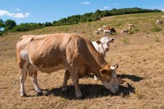 A cow and calf. On the pasture royalty free stock image
