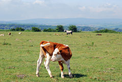 Cow calf on pasture. Nature scene Royalty Free Stock Images