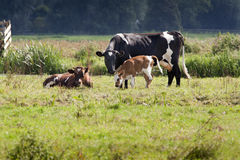 Cow and calf Royalty Free Stock Photography