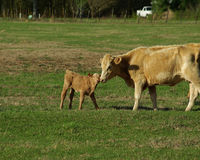 Cow and calf in pasture 6 Royalty Free Stock Photos