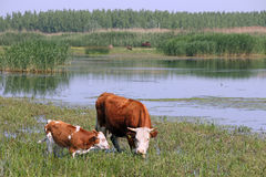 Cow and calf. On pasture Royalty Free Stock Images