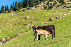 Cow and calf in the pasture. Landscape with a cow and a calf on pasture in summer Sunny day, Kyrgyzstan Royalty Free Stock Photos