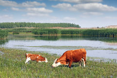 Cow and calf on pasture Royalty Free Stock Photo