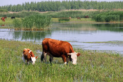 Cow and calf on pasture. Near river Royalty Free Stock Image