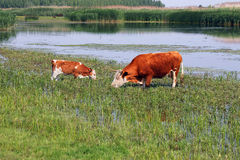 Cow and calf on pasture near river Royalty Free Stock Photo