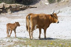 Cow with calf. On Piscini beach in south Sardinia, Italy Royalty Free Stock Photography