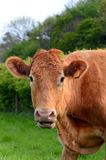 Cow calf portrait in field ear tags blanked out. Portrait of chestnut / red cow  with ear tag numbers blanked out Stock Images