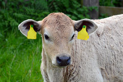 Cow calf portrait in field ear tags blanked out. Portrait of young grey / white calf with white face , ear tag numbers blanked out Royalty Free Stock Photos