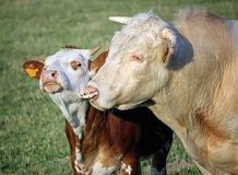 Cow and calf portrait Stock Photo