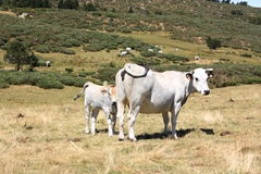 Cow and calf in Pyrenees. Cow(Gasconne race) and calf in Pyrenees,Languedoc region of France Royalty Free Stock Photos