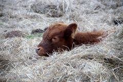 Cow, Calf, Rest, Cub, Brown, Animal Royalty Free Stock Image