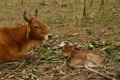 A cow and a calf, resting on the field Royalty Free Stock Photo