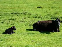 Cow and calf resting in field Stock Photography