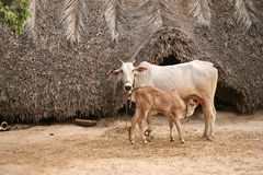 Cow & calf. Rural Indian cow & calf Indian breed Royalty Free Stock Photo