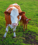 Cow and calf. Stock Photos
