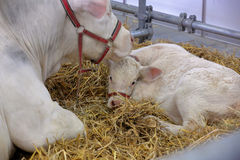 Cow and calf in the stable on farm.  Stock Photography