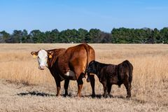 Cow and calf standing in brown pasture stock photography