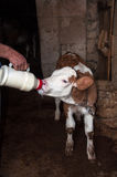 Cow Calf. Sucking Milk from Hand Held Bottle Stock Image