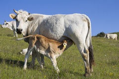 Cow and calf suckling in a field Royalty Free Stock Images