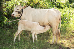 Cow calf suckling milk from its mother in grove background, vint Stock Photos