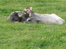 Cow and calf on a summer meadow Stock Photography