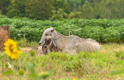 Cow and calf on a summer pasture Royalty Free Stock Images