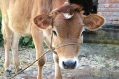 Cow calf tied with rope royalty free stock photos