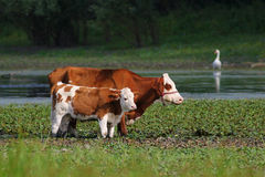 Cow and calf in watering place. Brown white Cow and calf in watering place Stock Photos